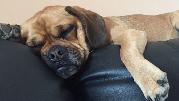 Cei mai leneşi câini. Rase de câini care urăsc să facă sport mai tare ca tine