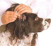 Cum curatam sau realizam un tratament al urechii cainelui?