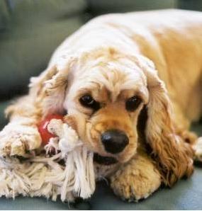 Pancreatita canina