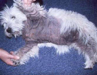 Malassezioza canina si felina