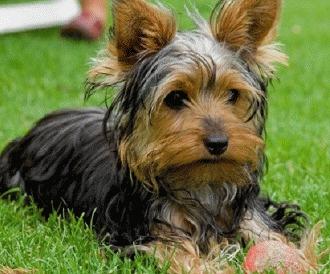 Ingrijirea unui Yorkshire Terrier