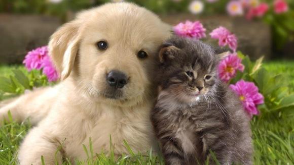 Înţepăturile de albine la căţei şi la pisici