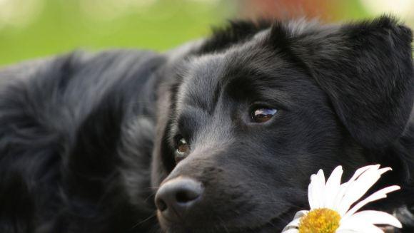 Sindromul brahicefalic respirator la câini