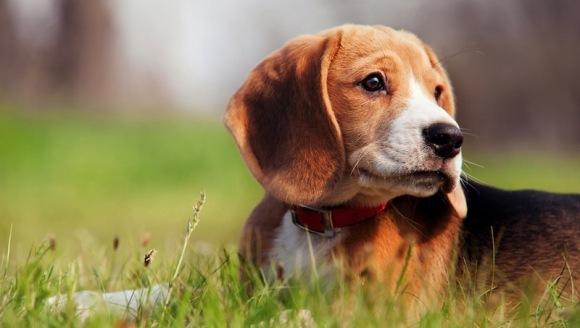 Se poate transmite Ebola de la câine la om?