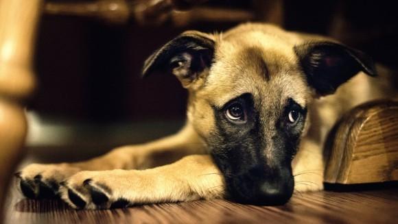 Depresia la câini - cauze, simptome, tratament