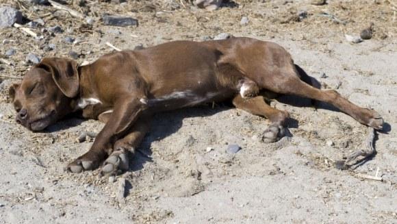 Sarcomul Sticker – Tumora veneriană transmisibilă canină