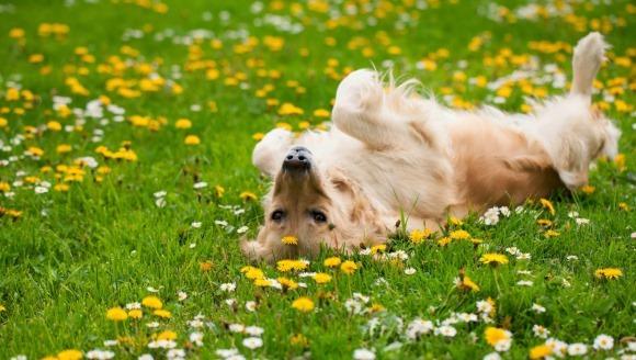 De ce se rostogolesc câinii în iarbă