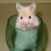 Idei de imblanzire a hamsterilor tafnosi