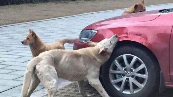 Răzbunarea unui câine: după ce a fost bătut de un șofer, și-a chemat amicii și i-au făcut mașina praf