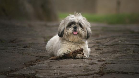 Câinii apelează la mecanisme asemănătoare celor folosite de copii, în crearea legăturilor cu părinții, pentru a ne face să îi iubim