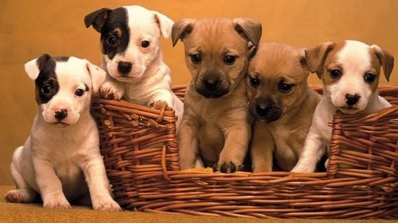 Cum să adopţi în siguranţă un căţel, când căţeaua familei este gravidă