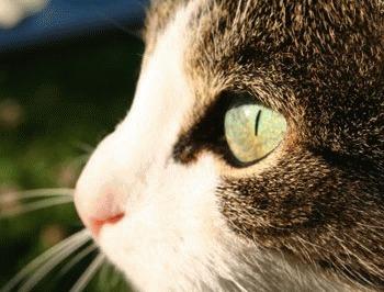 Afectiunile oculare la pisici