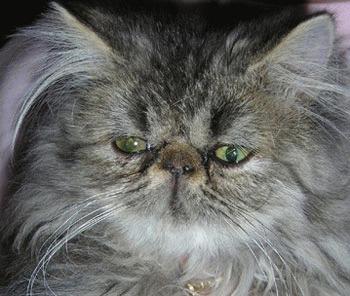 Atrofia retiniana progresiva la pisici