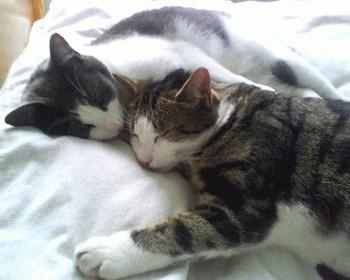 Sterilizarea pisicilor (castrarea motanilor)