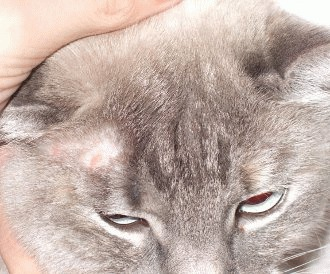 Microsporum canis - dermatofitoza felina