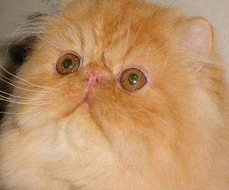 Sindromul polichistic renal la pisicile persane
