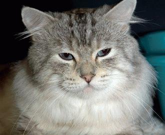 Peritonita infectioasa la pisici