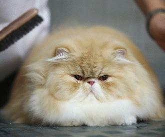 Ingrijirea pisicii persane