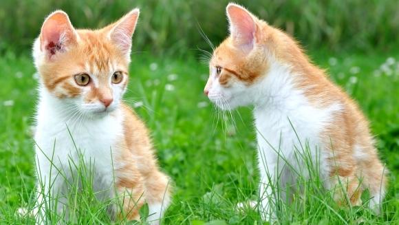 Astmul la pisici: cauze, simptome, tratament