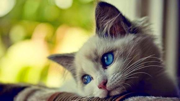 Boala inflamatorie intestinală la pisici