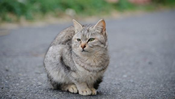 Boala ficatului gras la pisici (Lipidoza hepatică)