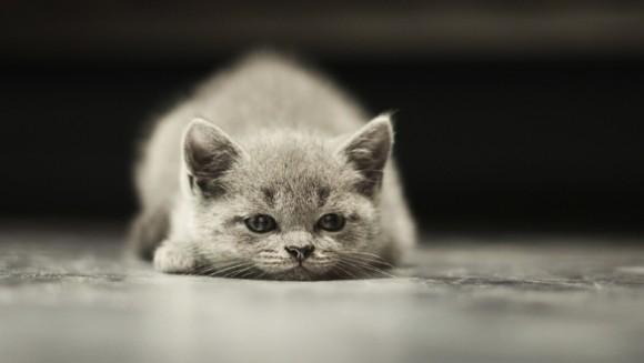Hipertensiunea la pisici – cauze, efecte, diagnosticare