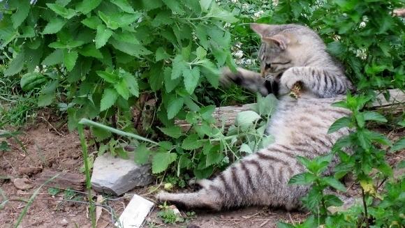 Iarba mâței – drogul pisicilor?