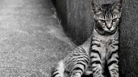 Pseudorabia la pisici sau boala Aujeszky
