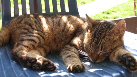 Cum protejăm pisica de caniculă