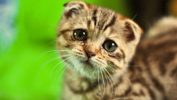 Cele mai frecvente boli ale pisicuţelor