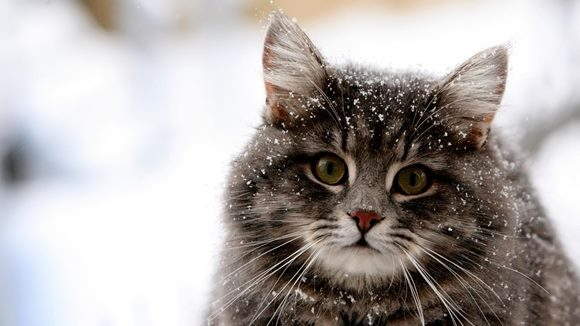 Cum să îngrijeşti pielea uscată a pisicii tale, în timpul iernii