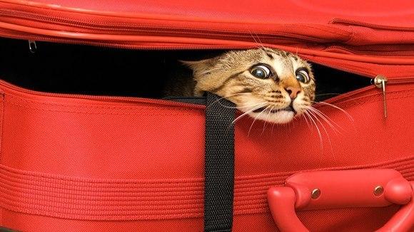 Pisica şi transportul cu avionul. Cum să îi faceţi zborul mai uşor