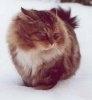 Ghemotoacele de blana la pisica