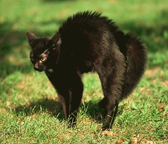 Pisica isi arcuieste spinarea - ce doreste sa transmita?