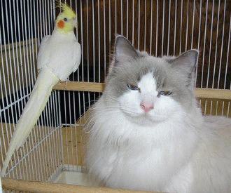 Pisica vs pasarile de companie