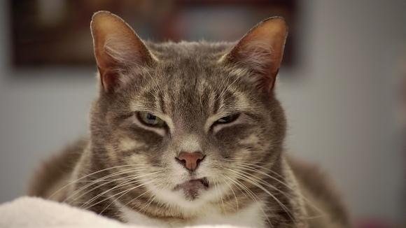 Ce spune pisica ta: decodează mesajele pisicii tale, după chipul său – Foto
