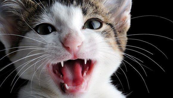 Studiu: pisicile miaună sau nu cu accent?