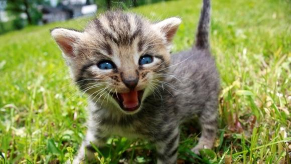 Ce spune mieunatul pisicii? Interpretarea celor cinci sunete distincte pe care le scoate pisica