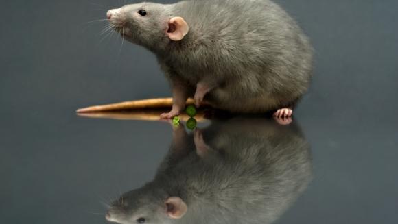 Cele mai ciudate lucruri despre şobolani