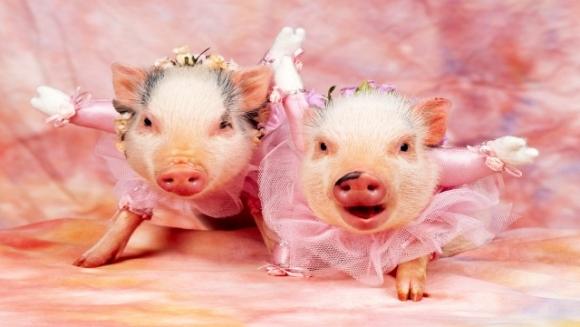 10 lucruri fascinante pe care nu le ştiaţi despre porci