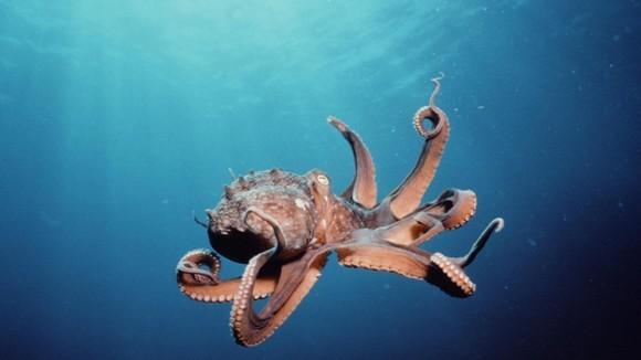 Curiozităţi caracatiţe - secretele celui mai înţelept animal marin