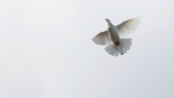 Curiozităţi despre porumbei – Ştiaţi că…