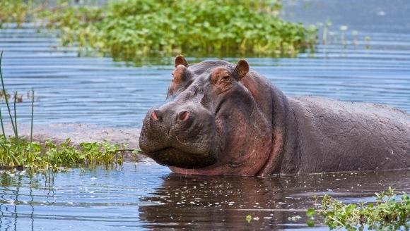 Fun facts for Kids: Ştiaţi că… Curiozităţi despre hipopotami