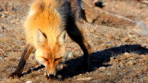 Curiozităţi despre vulpea roşcată. 13 lucruri pe care nu le ştiaţi despre vulpi