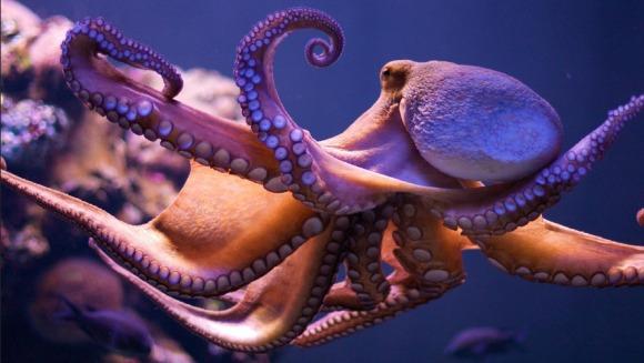 Caracatiţă cu tentaculele înnodate? Iată de ce nu există aşa ceva
