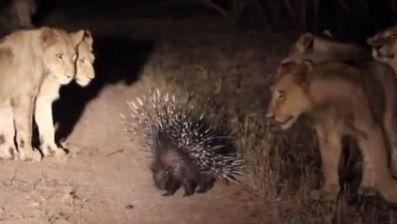 Un porc spinos vs. 17 leoaice. Cine iese învingător?