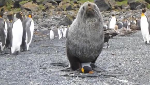 Pinguin agresat sexual de o focă - VIDEO