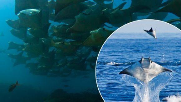 Imagini incredibile cu pești Mobula Munkiana, făcând salturi spectaculoase în aer - Galerie Foto