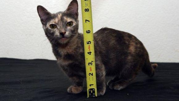 Cât măsoară cea mai mică pisică din lume