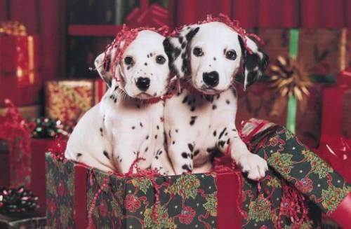 Cadouri de Crăciun: animale de companie. De ce e bine să spui NU